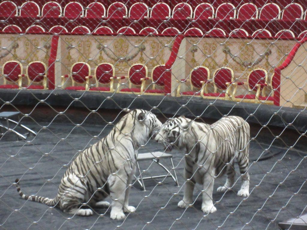 Открытая репетиция братьев Запашных в цирке Чинизелли.