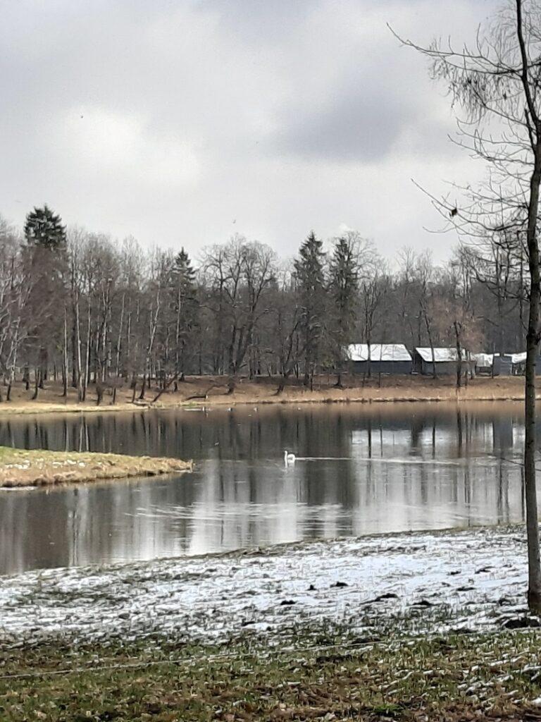 Лебединая песня в Гатчинском парке